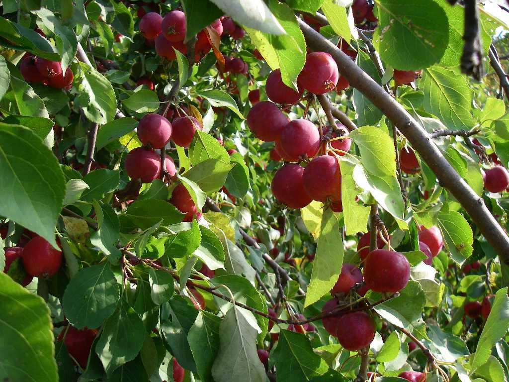 яблоки ранет фото колец целом непротиворечивая